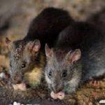 Công ty diệt chuột quận Bình Tân
