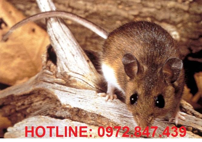 Dịch vụ diệt chuột chuyên nghiệp tại Hà Nội