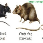 Dịch vụ diệt chuột giá rẻ tại Ninh Thuận